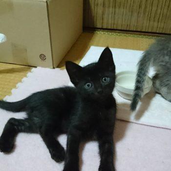 黒猫チェルくんと姉弟がずっとのおうち探しています