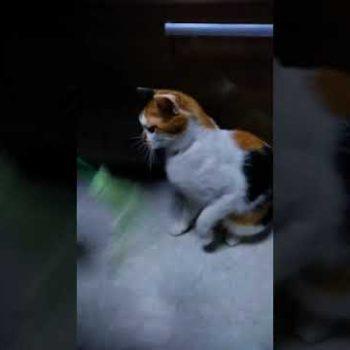 どうぶつ基金 保護猫 たま子 「買わずに飼ってね」